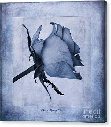 Hybrid Tea Rose Cyanotype Canvas Print by John Edwards