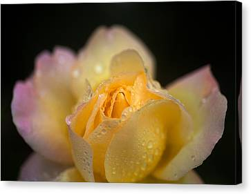 Hybrid Tea Rose In The Irish National Canvas Print by Panoramic Images