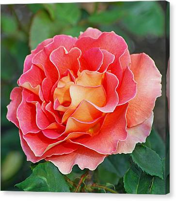 Hybrid Tea Rose  Canvas Print by Lisa Phillips
