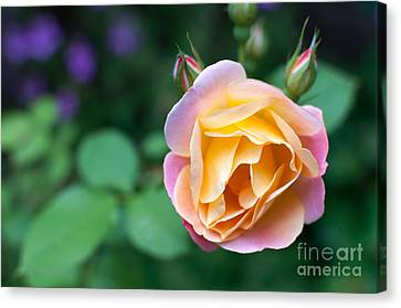 Canvas Print featuring the photograph Hybrid Tea Rose by Matt Malloy