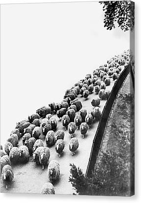 Hyde Park Sheep Flock Canvas Print by Underwood Archives
