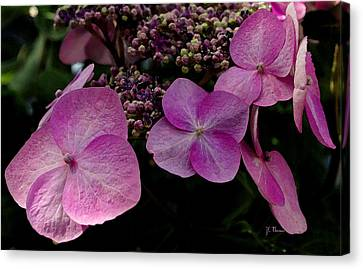 Canvas Print featuring the photograph Hydrangea Flowers  by James C Thomas