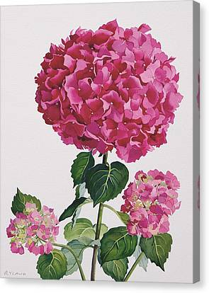 Hydrangea Canvas Print by Christopher Ryland