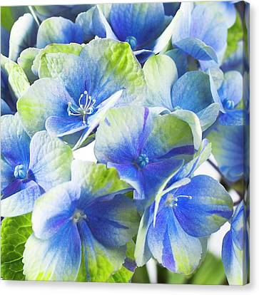 Hydrangea Flower And Soil Acidity Canvas Print by Science Photo Library