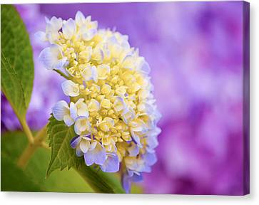 Hydrangea On Purple Canvas Print
