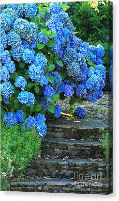 Hydrangea Steps 2 Canvas Print by Jeanette French