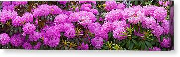 Hydrangeas Flowers, Union Township Canvas Print by Panoramic Images