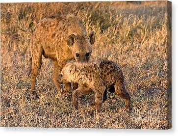 Hyena Mother And Cub Canvas Print by Chris Scroggins