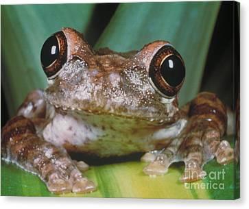 Hyla Vasta Tree Frog Canvas Print by Jeff Lepore