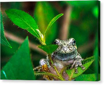 Canvas Print featuring the photograph Hyla Versicolor by Rob Sellers