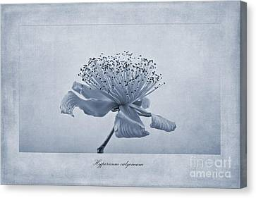 Hypericum Calycinum Cyanotype Canvas Print by John Edwards