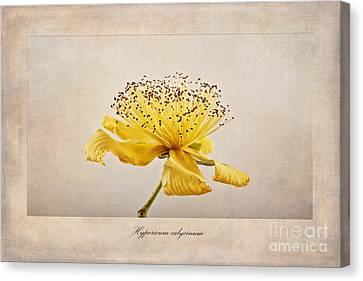Hypericum Calycinum Canvas Print by John Edwards
