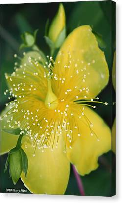 Hypericum  Canvas Print by Penny Hunt