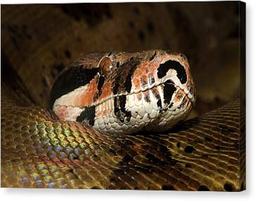 Boa Constrictor Canvas Print - Hypo Colombian Boa by Nigel Downer