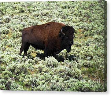 I Am The King Of This Meadow Canvas Print