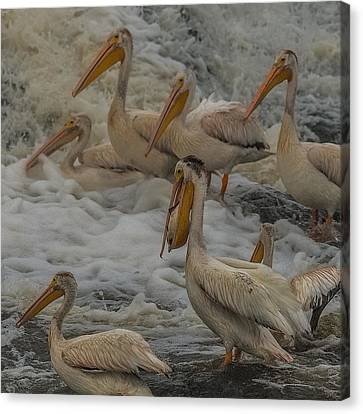 Flying White Pelicans Canvas Print - I Caught One by Paul Freidlund
