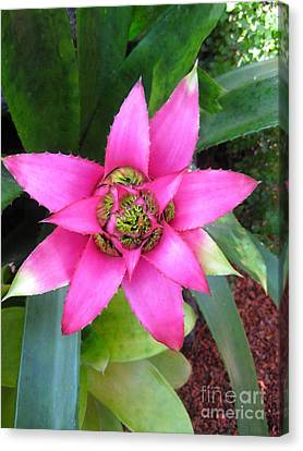 Pink And Beautiful  Canvas Print by Claudia Ellis