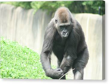 Pittsburgh Zoo Canvas Print - I Mean Business by Starla Perdew
