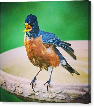 Bathing Robin Canvas Print by Heidi Hermes