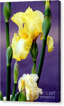 I Only Have Iris For You Canvas Print by Kathy  White