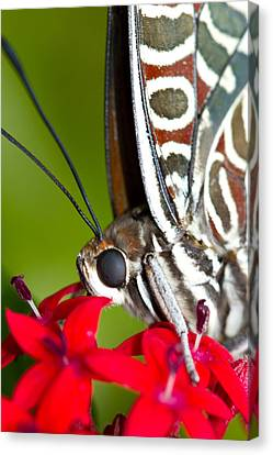 Canvas Print featuring the photograph I See You Butterfly by John Hoey