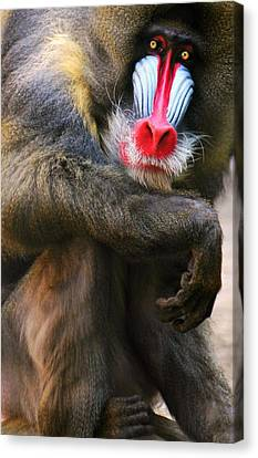 Mandrill Canvas Print - I See You by Diana Angstadt
