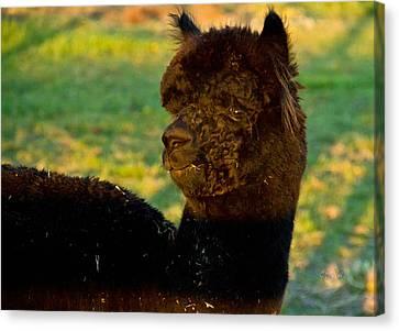 I Seez You Black Alpaca Portrait Canvas Print by Eti Reid