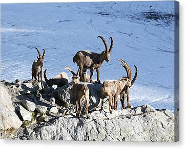 Ibex By A Glacier Canvas Print by Science Photo Library