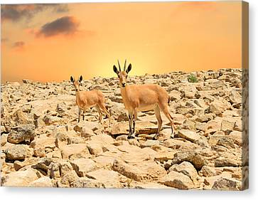 Ibexes And Sunset Canvas Print