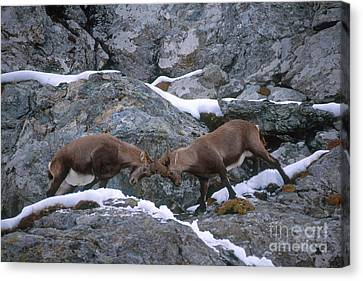 Ibexes Sparring Canvas Print by Art Wolfe