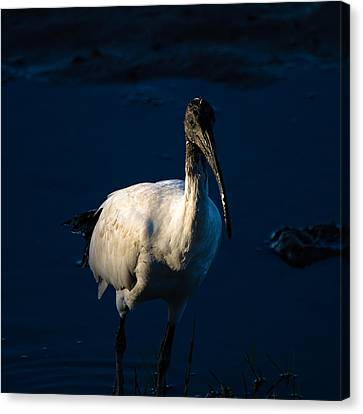 Ibis By Moonlight Canvas Print