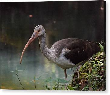 Ibis Cute Face Canvas Print