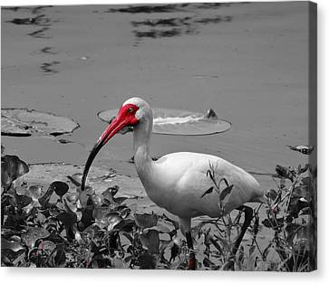 Ibis In Brazos Bend State Park Canvas Print by Dan Sproul