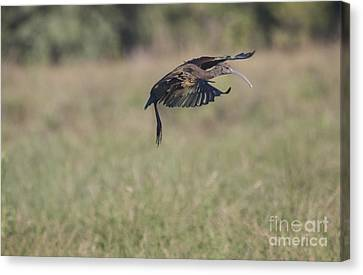 Ibis In Flight Canvas Print by Ruth Jolly