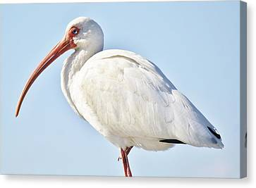 Ibis In The Marsh Canvas Print by Paulette Thomas