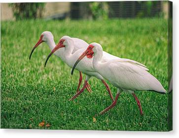 Ibis Lawn Service Canvas Print by Dennis Baswell