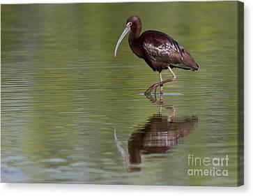 Ibis Reflection Canvas Print by Bryan Keil