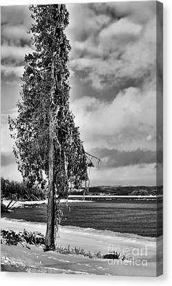 Ice Coated Tree Canvas Print by Louise Heusinkveld