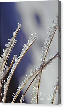 Canvas Print featuring the photograph Ice Crystals On Fireweed Fairbanks  Alaska By Pat Hathaway 1969 by California Views Mr Pat Hathaway Archives