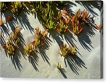Ice Plant In Sand Canvas Print
