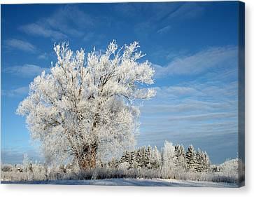Ice Tree Canvas Print by Brady D Hebert