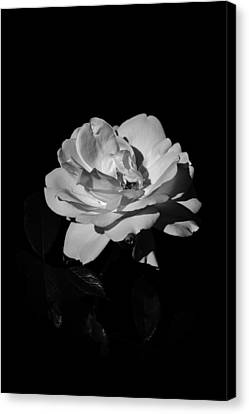 Iceberg Rose Canvas Print by Charles Lupica