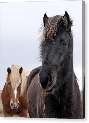 Iceland Horses Canvas Print