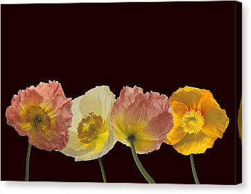 Canvas Print featuring the photograph Iceland Poppies On Black by Susan Rovira