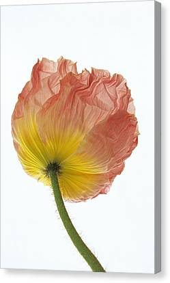 Canvas Print featuring the photograph Iceland Poppy 1 by Susan Rovira