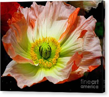 Iceland Poppy Canvas Print