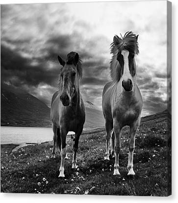 Canvas Print featuring the photograph Icelandic Horses by Frodi Brinks