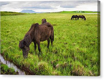 Icelandic Horses On Green Meadow In Iceland Canvas Print by Matthias Hauser