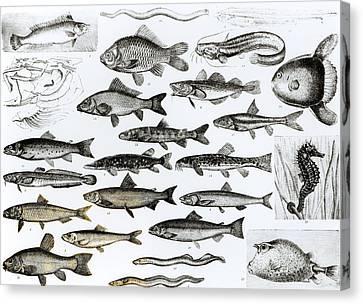 Ichthyology Canvas Print by English School