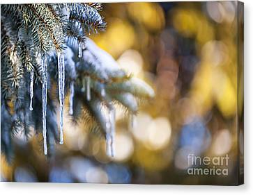 Icicles On Fir Tree In Winter Canvas Print by Elena Elisseeva